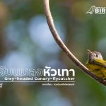 นกจับแมลงหัวเทา