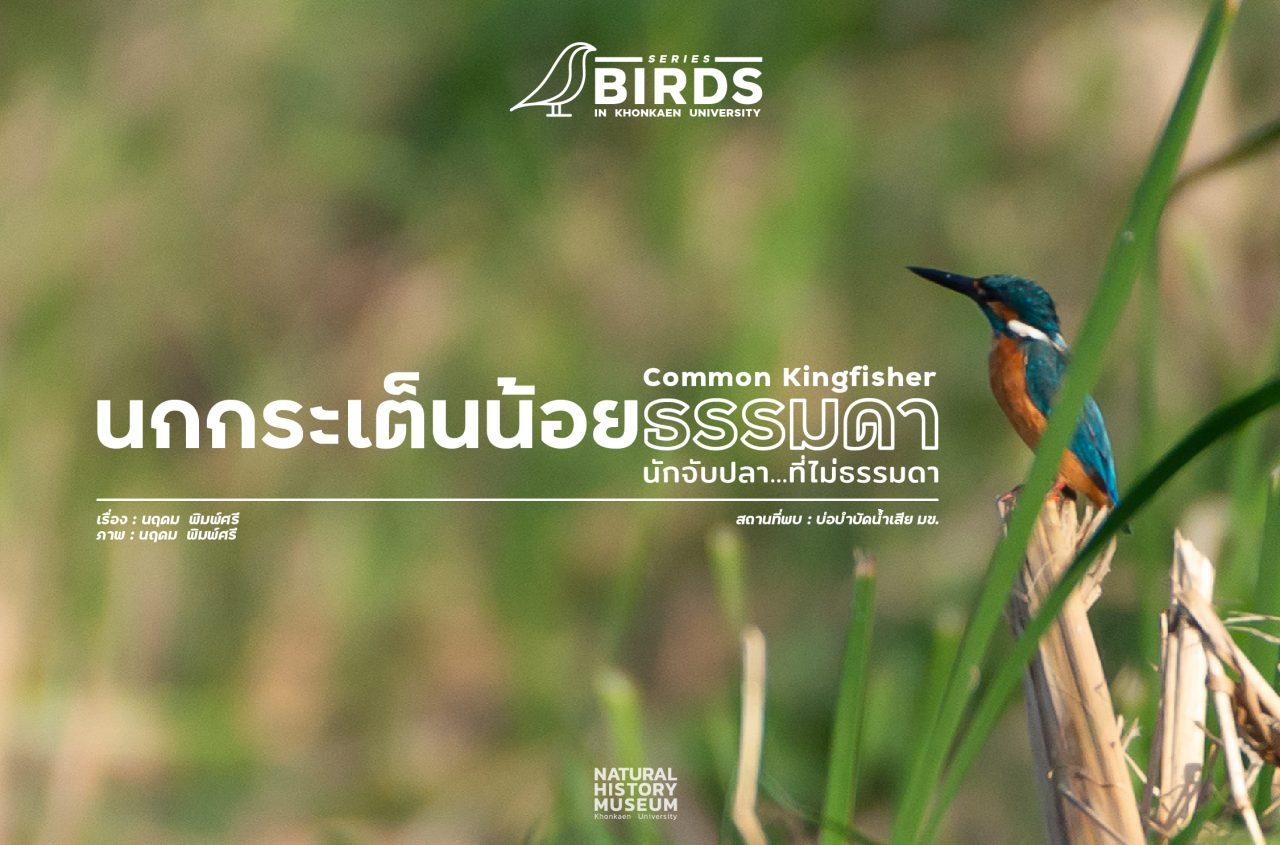 common kingfisher-03